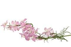 Rosen-Blume des Rittersporns, Lat Rittersporn, lokalisiert auf Weißrückseite Stockbild
