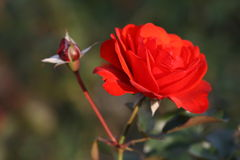 Rosen-Blume draußen Stockfoto