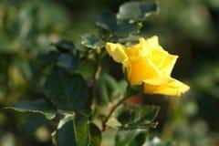 Rosen-Blume draußen Lizenzfreie Stockfotos