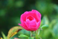 Rosen-Blume in einem Garten Lizenzfreie Stockbilder
