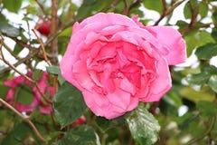 Rosen-Blume in einem Garten Stockbild