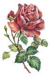 Rosen-Blume, Farbbleistift, Illustration Stockfoto