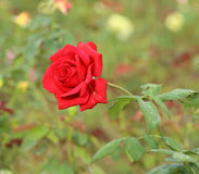 Rosen-Blume im Garten Stockfotos