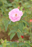 Rosen-Blume im Garten Lizenzfreie Stockbilder