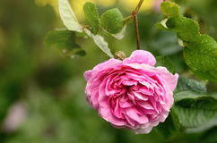 Rosen-Blume im Garten Stockfoto