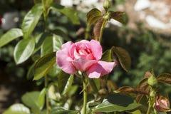 Rosen-Blume mit den rosa Blumenblättern Stockbild