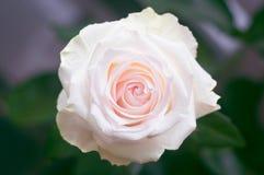 Rosen-Blume mit den rosa Blumenblättern mitten in dem Rahmen mit einer unscharfen Draufsicht des grünen Hintergrundes stockfotos