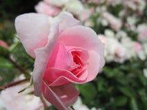 Rosen-Blume mit den weißen und rosa Blumenblättern Stockfoto
