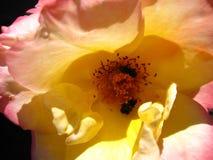 Rosen-Blume mit hellrosa mit Insekten Stockfotos
