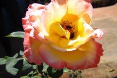 Rosen-Blume mit hellrosa mit Insekten Stockfoto