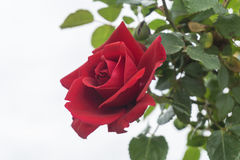 Rosen-Blume und -blätter Stockfoto