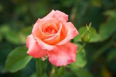 Rosen-Blume unter grünen Blättern schließen oben Stockbild