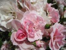 Rosen-Blumen mit den weißen und rosa Blumenblättern Stockfoto