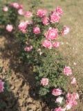 Rosen-Blumen, rosa Rose, schöne Rosen stockbild