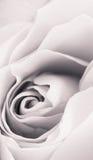 Rosen-Blumenabschluß oben Monochrom mit Weinleseeffekten vertikal Lizenzfreie Stockbilder