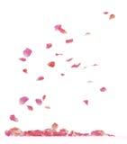 Rosen-Blumenblätter Lizenzfreies Stockbild