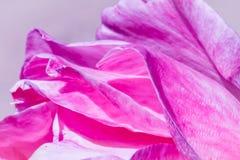 Rosen-Blumenblätter bei Sonnenaufgang Stockbilder
