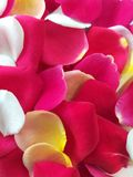 Rosen-Blumenblätter blühen Sommer lizenzfreies stockfoto