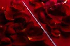 Rosen-Blumenblätter im Rot mit einem weißen Streifen Stockbild