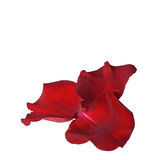 Rosen-Blumenblätter lokalisiert auf Weiß lizenzfreie stockbilder
