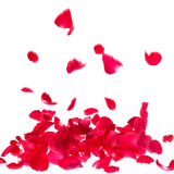 Rosen-Blumenblätter lokalisiert auf weißem Hintergrund Stockfotos