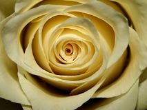 Rosen-Blumenblätter mit interessantem Licht stockfotografie