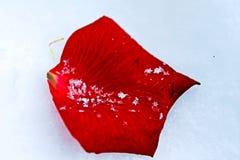 Rosen-Blumenblatt im Schnee Stockfoto