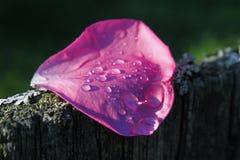 Rosen-Blumenblatt nach dem Regen stockbild
