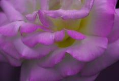 Rosen-Blumenblattbeschaffenheit stockbilder