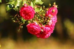 Rosen-Blumenbusch im Garten an einem Sommertag Stockbilder