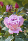 Rosen-Blumengarten Lizenzfreies Stockfoto