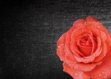 Rosen-Blumenhintergrund Stockfoto
