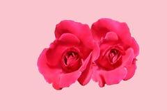 Rosen-Blumennaturrosahintergrund-Nahaufnahmeanlage Lizenzfreies Stockbild