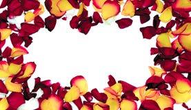 Rosen-Blumenrahmen als romantische Karte auf weißem Hintergrund Stockfotografie