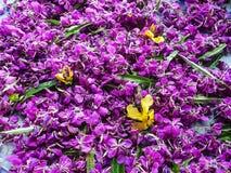 Rosen-Bucht benutzt für köstlichen Tee und als Heilpflanze stockfotos
