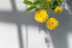 Rosen Dame Banks ' (Rosa Banksiae Lutea) über einheitlichem Hintergrund Stockfotografie