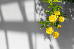 Rosen Dame Banks ' (Rosa Banksiae Lutea) über einheitlichem Hintergrund Stockbilder
