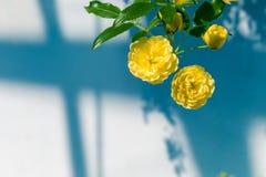 Rosen Dame Banks ' (Rosa Banksiae Lutea) über einheitlichem Hintergrund Stockbild