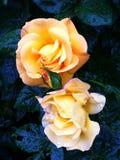 Rosen in der Dunkelheit stockbild