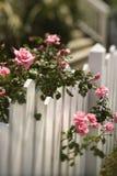 Rosen, die über Zaun wachsen. Lizenzfreies Stockfoto