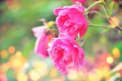 Rosen, eine schöne Natur Stockfoto