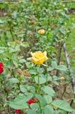 Rosen in einem Blumenbauernhof lizenzfreie stockbilder