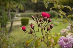 Rosen in einem Garten stockbilder