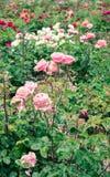 Rosen in einem Garten Stockfotografie