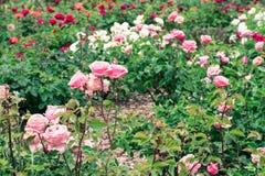 Rosen in einem Garten Stockfotos