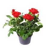 Rosen in einem Potenziometer Stockfotografie