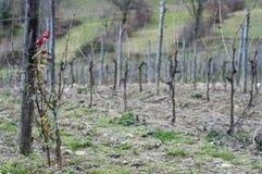 Rosen in einem Weinberg Stockfotografie