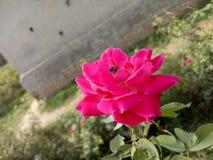 Rosen für Bienen stockfotografie