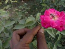 Rosen für Bienen stockbilder