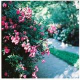 Rosen am Garten stockbild